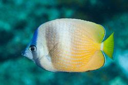 BD-141017-Komodo-5228-Chaetodon-kleinii.-Bloch.-1790-[Sunburst-butterflyfish].jpg